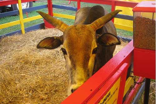 animal at schoharie county sunshine fair