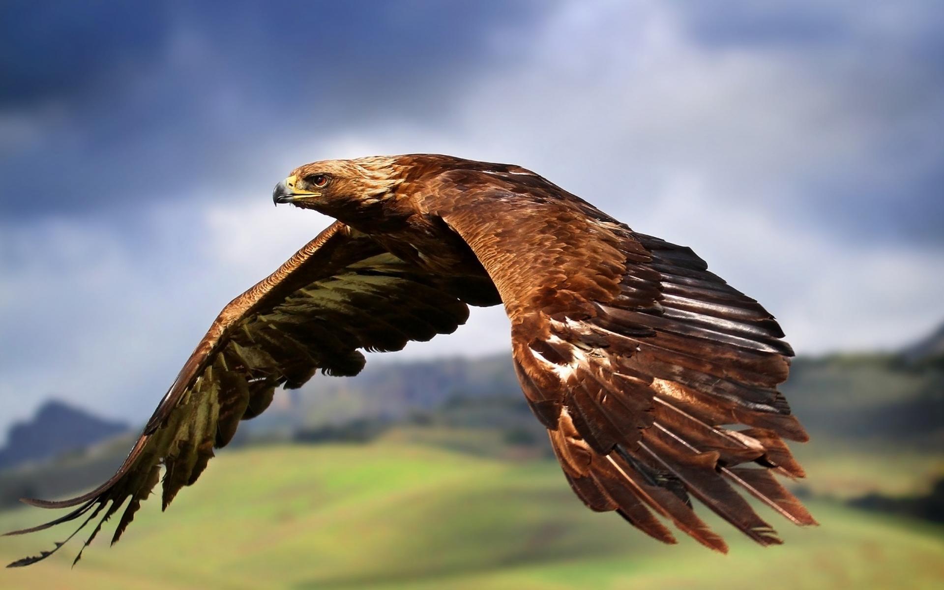 golden-eagle-flying-wallpaper.jpg