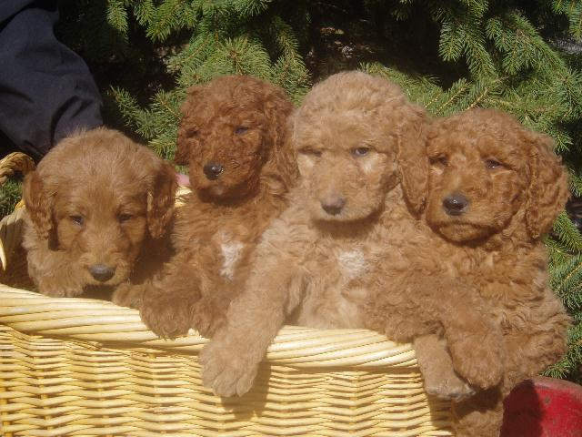 goldendoodle-picture-1.jpg