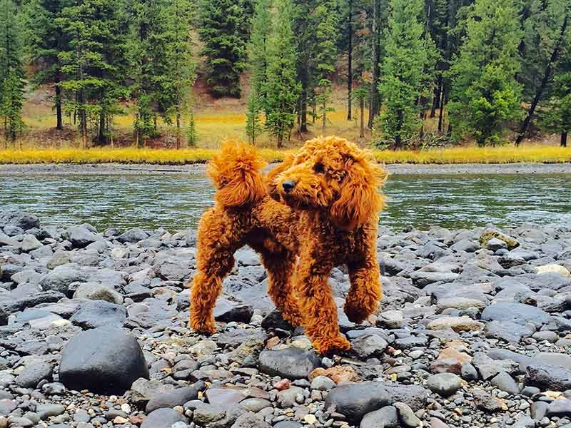 Goldendoodle puppy playing on river rocks