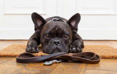 French bulldog sitting by door with leash asking for walk