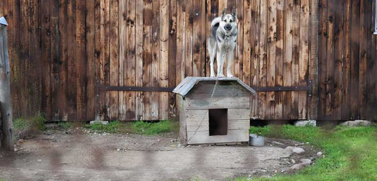 Dog standing on its dog house while chained in the yard.