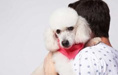 Poodle looking uncomfortable being hugged