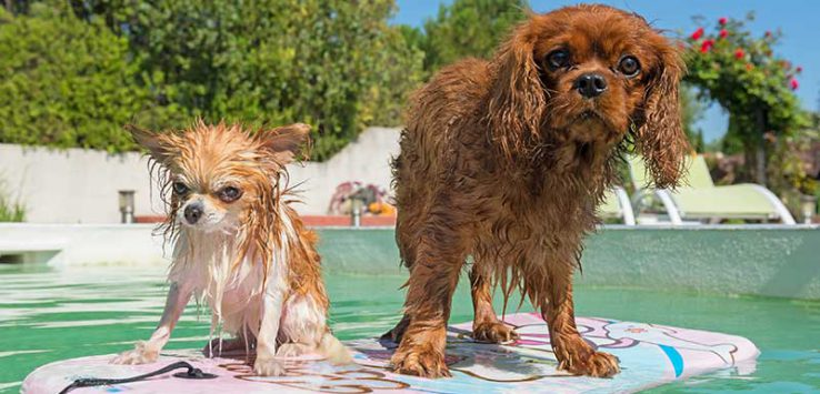 Two wet dogs on a boogie board floating in a pool