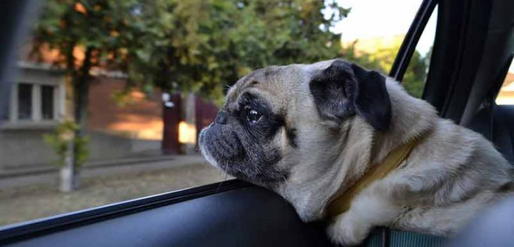 Pug looking out of a car window