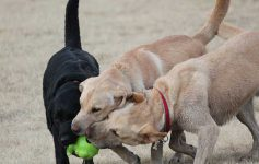 Three dogs playing with a green ball