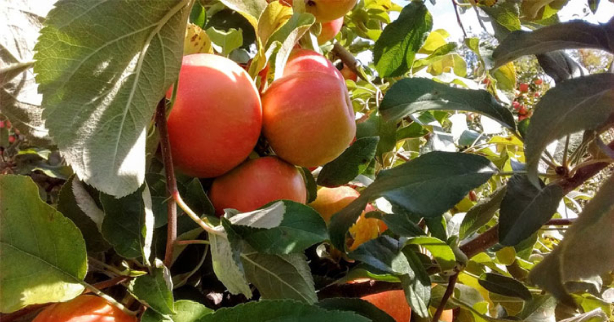 Enjoy Apple Picking at Orchards in the Albany, NY Area
