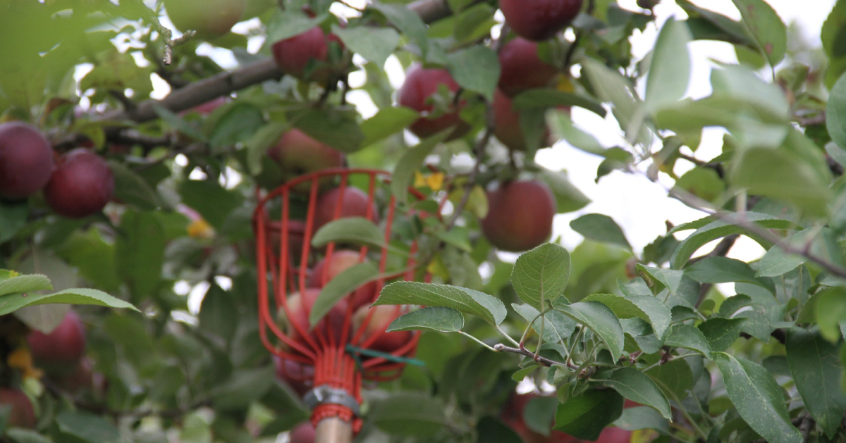 red apples and a bucket in tree