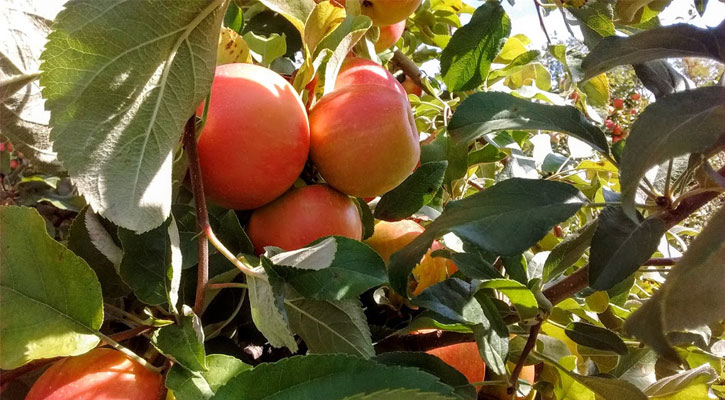 close up of apples in a tree