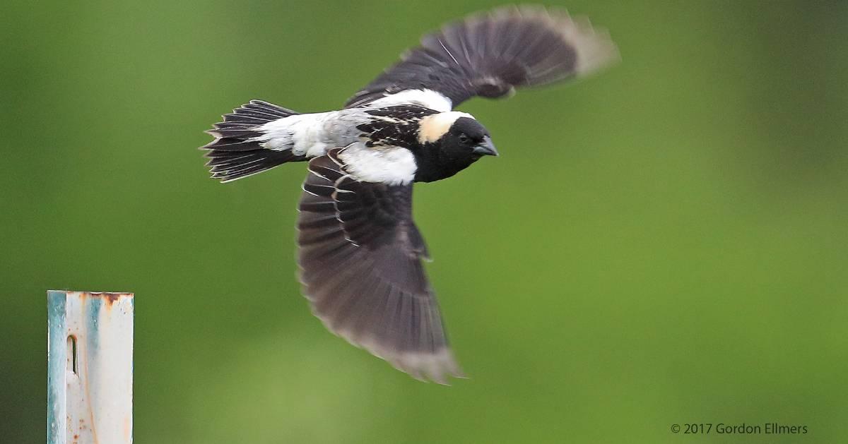 bobolink flies