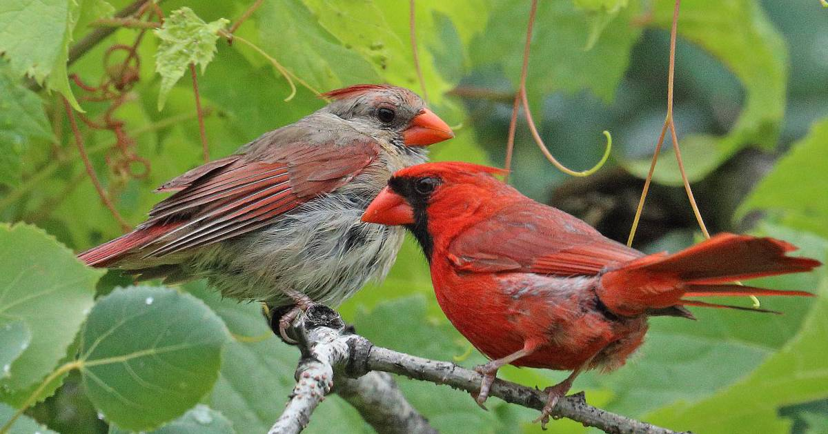 two cardinals on tree branch