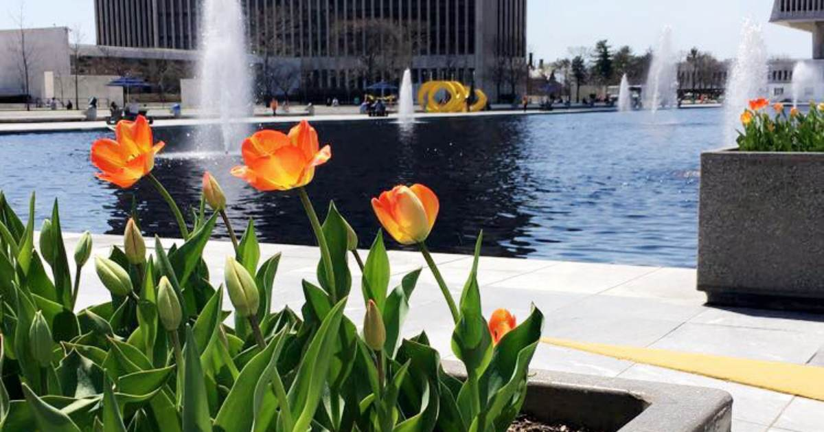 tulips blooming at empire state plaza