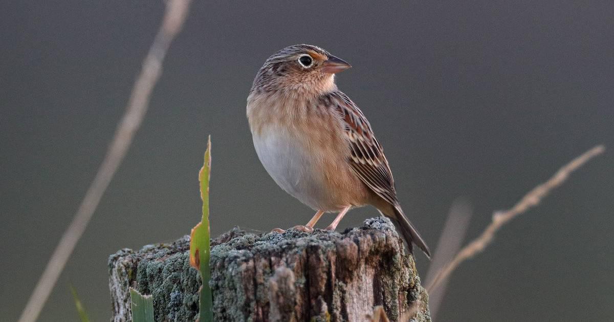 grasshopper sparrow on log