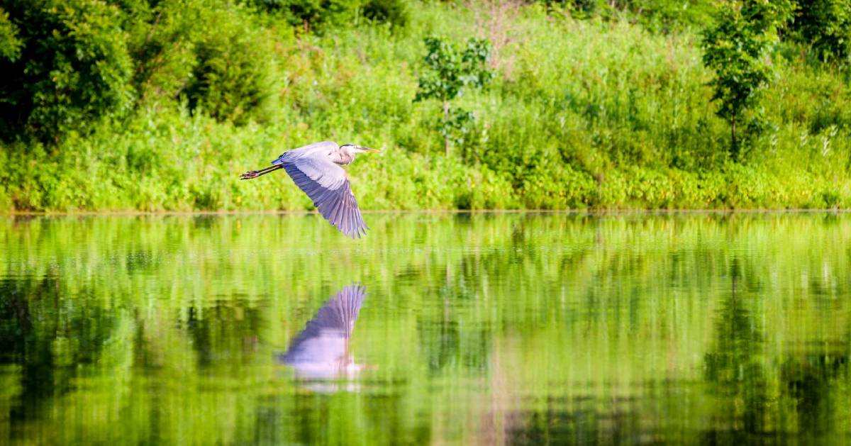 great blue heron flies over water