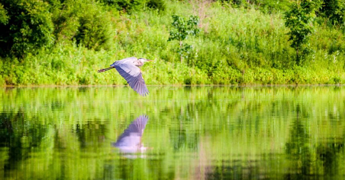 great blue heron flies over water