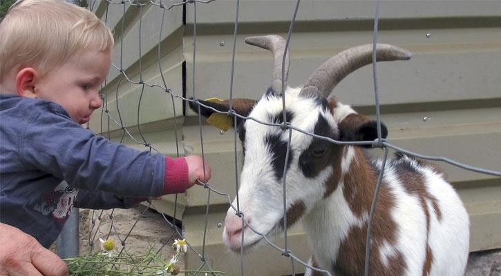 a toddler boy petting a goat at a farm