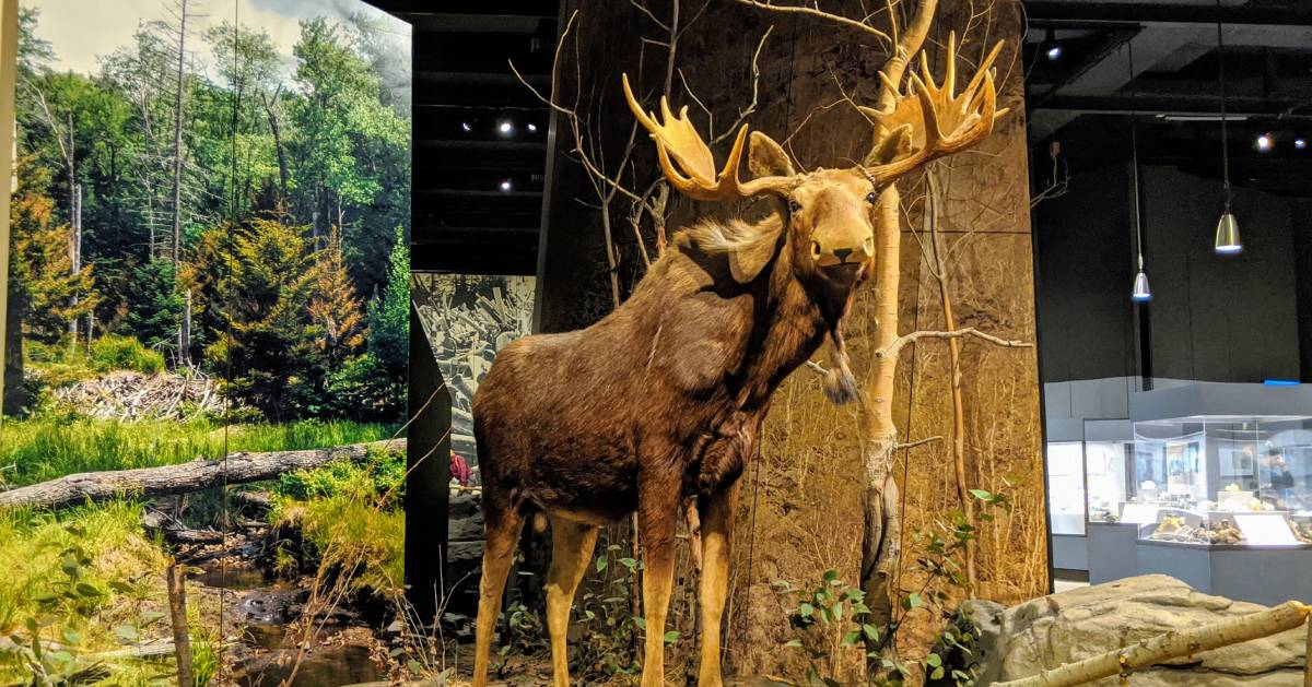 a display of a giant taxidermied moose in a museum