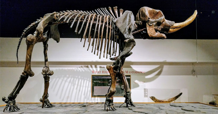 a skeleton of a mastedon in a museum