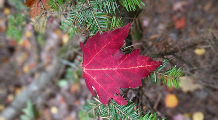 a red autumn leaf resting on the branch of a pine tree with the background blurred out