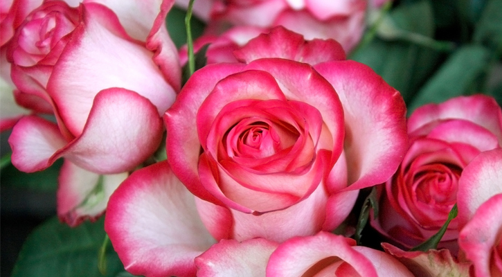 close up of pink and white roses