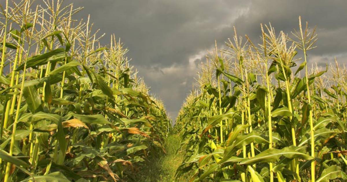 a cornfield with creepy clouds in the sky