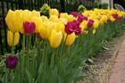 Spring Tulips In Albany
