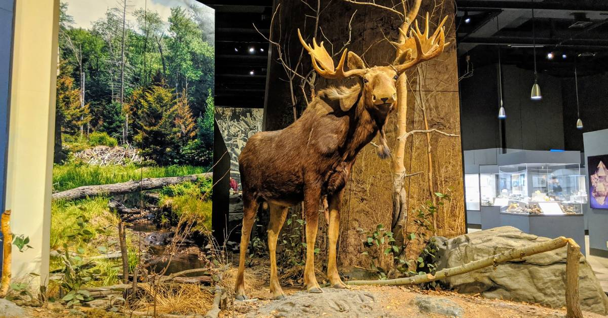 a moose display in a museum