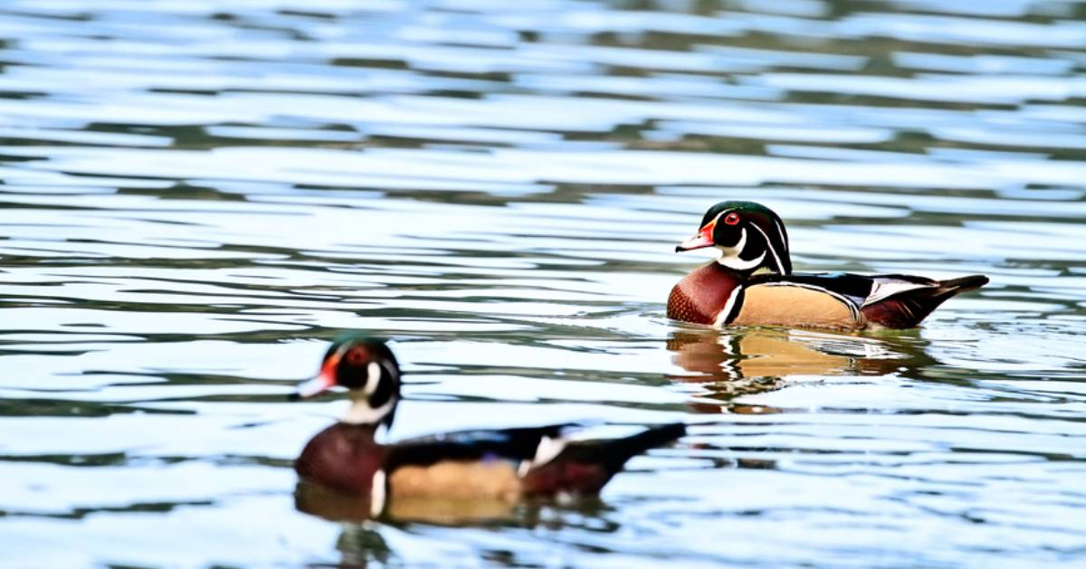 two wood ducks