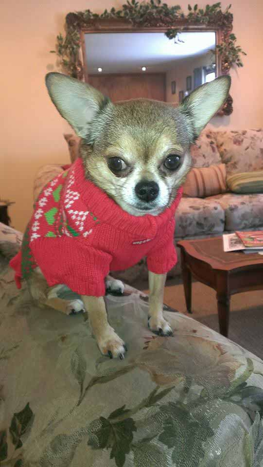 a chihuahua wearing a holiday sweater
