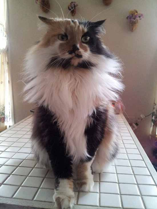 a cat with long hair