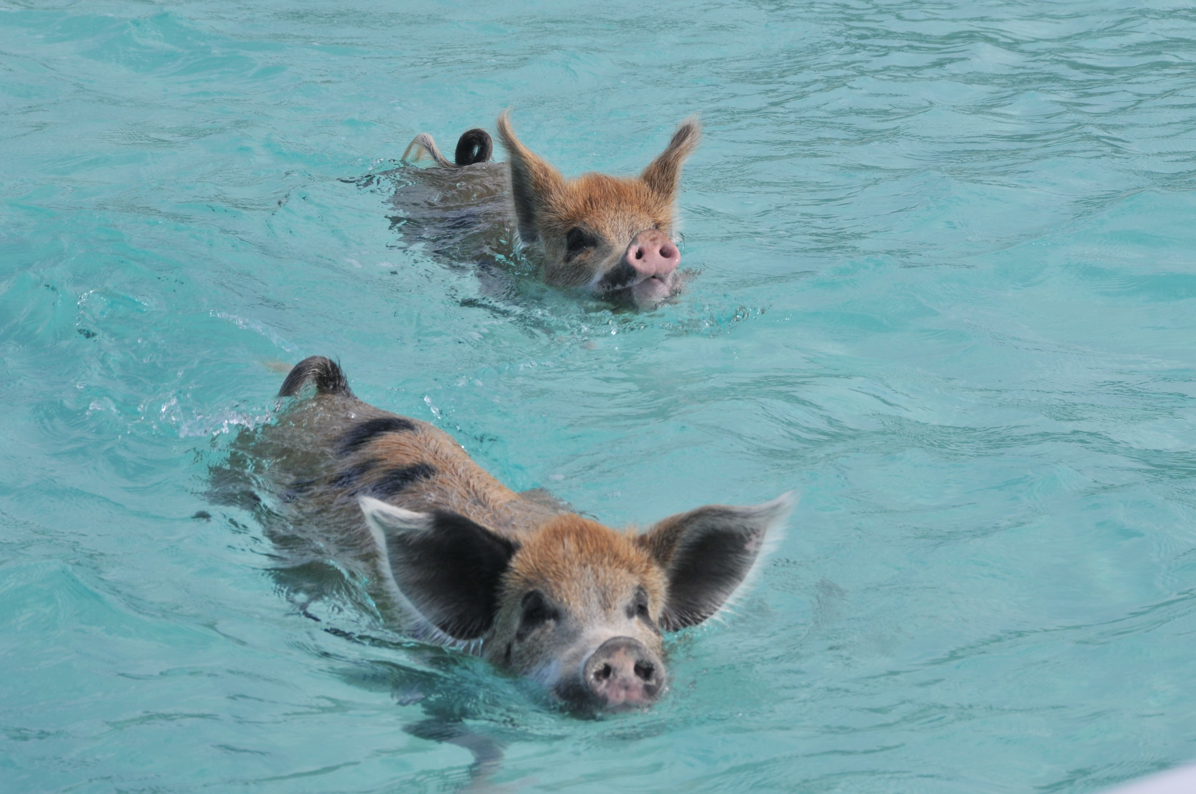 There Is An Island In The Caribbean Run By Pigs That Love To