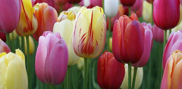 Tulips at Tulip Fest