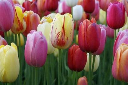 tulips20160329s.jpg