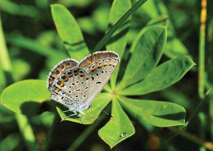 karner-blue-sitting-on-leaf.jpg