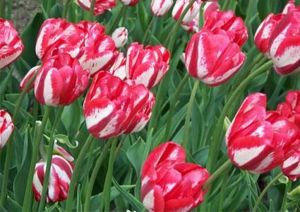 tulip-queens.jpg