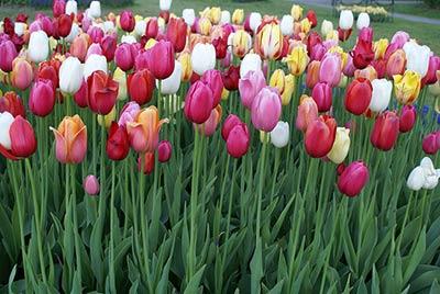 tulipssss.jpg