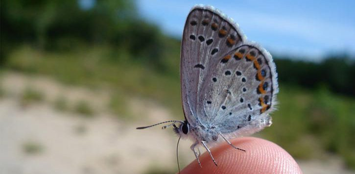 close up of a Karner blue butterfly in the tip of someone's finger