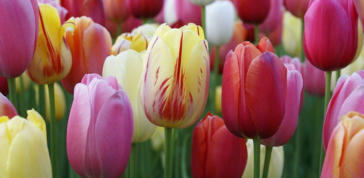 pink, red, and yellow tulips