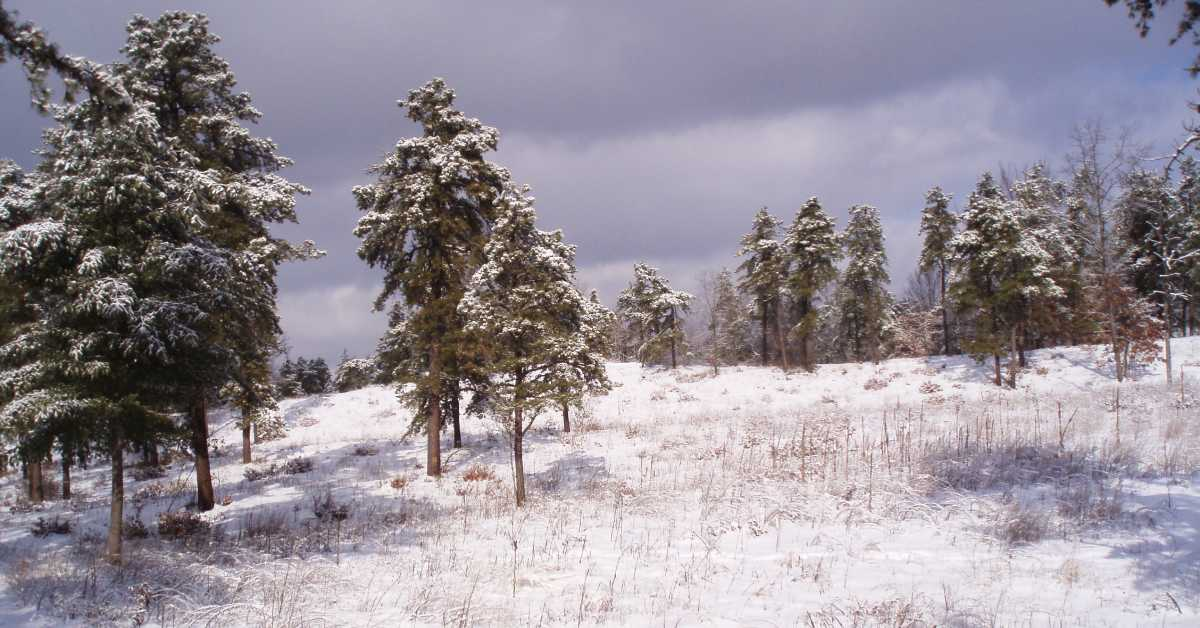 albany pine bush covered in snow