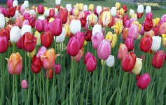 pink, red, and white tulips
