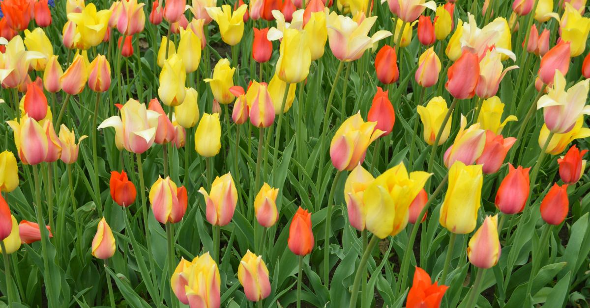 colorful tulips in the ground