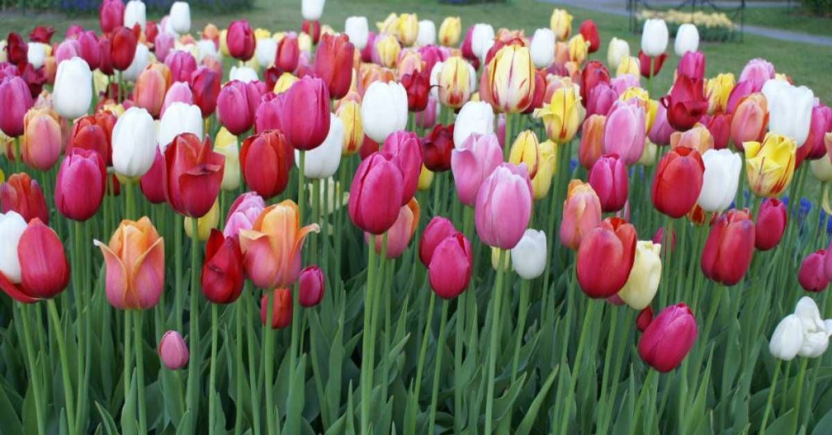 red, pink, and white tulips