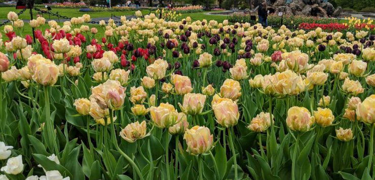 colorful tulips in a park